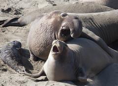 animal, seals, sea lion, marine mammal, fauna, wildlife,