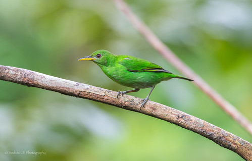 birds colombia wildlife birdwatching choco balmes pacifico d600 passeriformes chocó honeycreeper greenhoneycreeper chlorophanesspiza bahíasolano neotropicalbirds thamnophilidae mieleroverde andrescv
