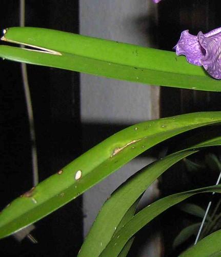 kranke orchideen blätter