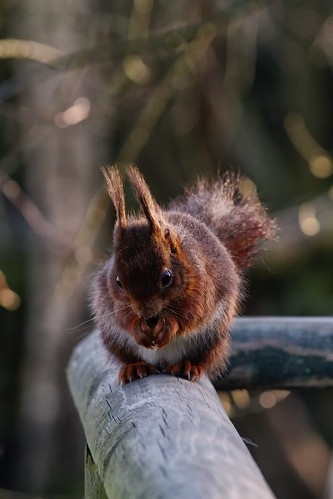 Red Squirrel by McShug