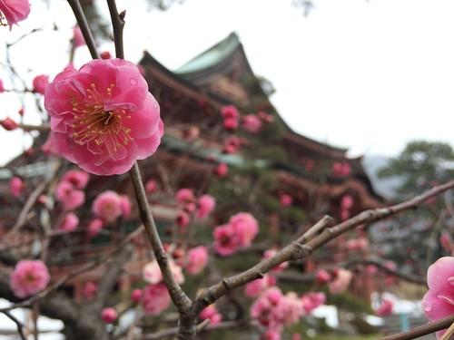 甲斐善光寺に咲いてましたよ。 #yamanashi