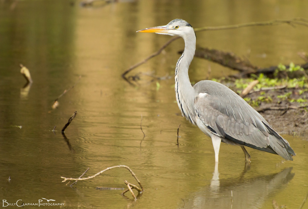 billy clapham photography grey heron bird Nikon D3200
