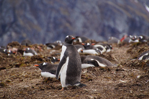 187 Ezelspinguins