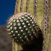 New saguaro cactus growth near Tucson (200mm / 300mm; 1/500; f/11)