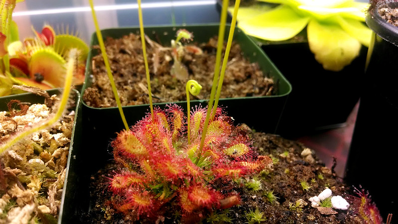 "Drosera capillaris ""Alabama"" bloom stalks"