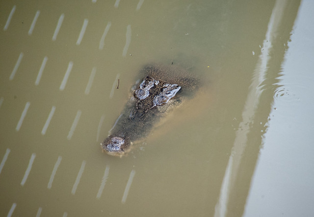 Estuarine crocodile (Crocodylus porosus) below the Main Bridge