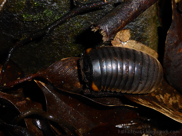 Penrissen Trek Pill Bug