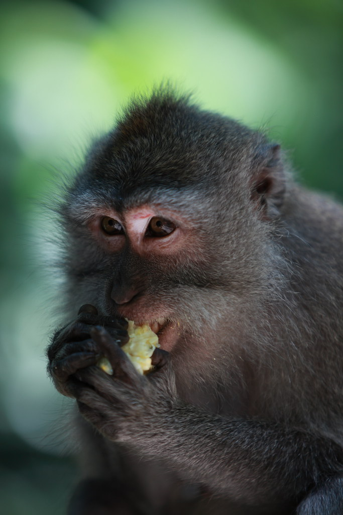 Balinese Monkey #3