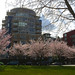 Granville Loop Park, in Cherry Blossom season