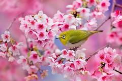cherry-blossom-sakura-6