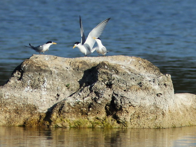 Least Terns 3-20140405