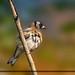 goldfinch by acki2011