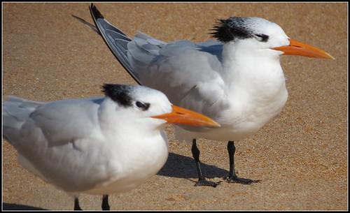 CC Gulls