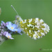 Orange Tip & Forget Me Not by davolly59