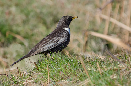 Male Ring Ouzel, Peak District