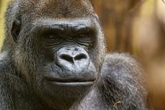 Serious gorilla close