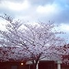 A pretty sight as I walk into school - cherry blossoms in bloom. #cherryblossom #sakurabloom #frederickmd #frederickcountymd #frederickcountymarylandphotographer #cityoffrederick #teacherlife