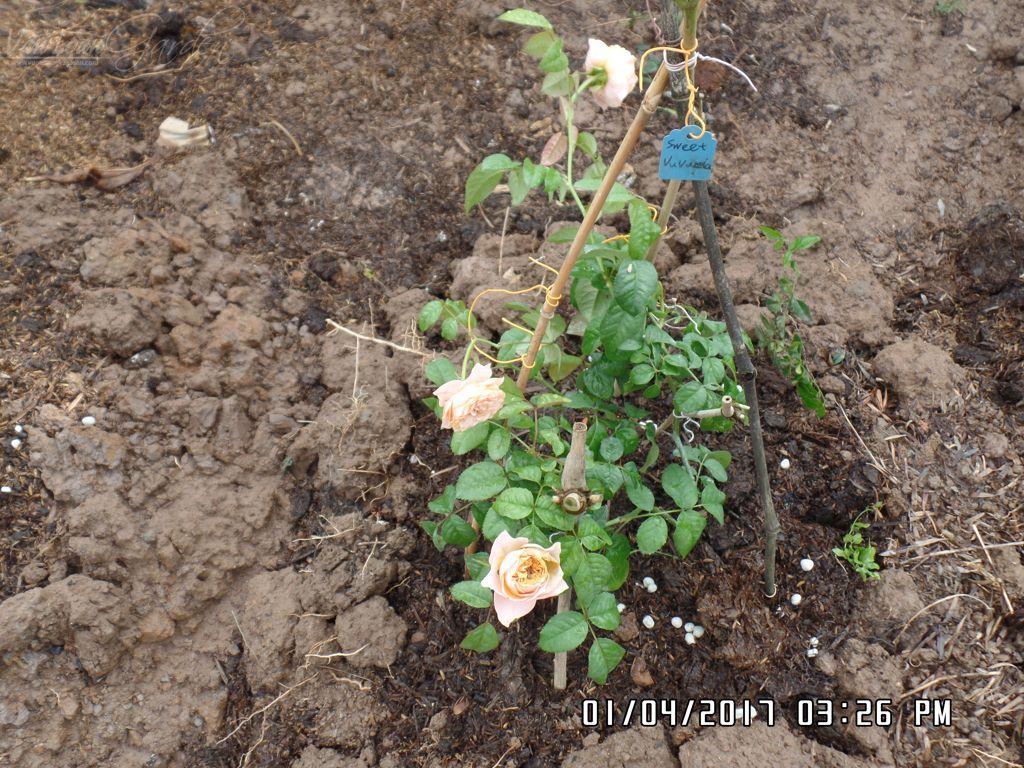 Cây giống hồng ngoại Sweet Vuvuzela rose mới trồng đất