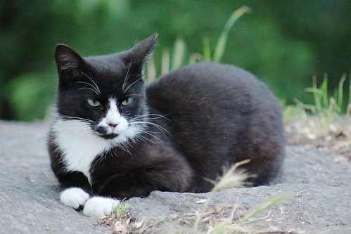 feral tuxedo cat in Morningside Park feeding