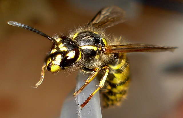 Home - 2013-05-20 - Hymenoptera - Common Wasp (Queen) - Vespula vulgaris