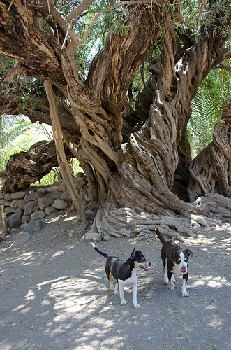 Oldest olive tree - San Javier Mission, Baja California, Mexico