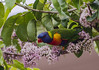 the nectar hunters - rainbow lorikeet in an eurodia tree (Explore, 9/6/2013) by Fat Burns ☮ (on/off)