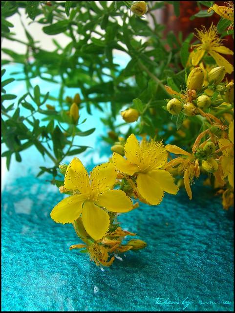 Sarı Kantaron Faydaları Ve Sarı Kantaron Yağı Rumma