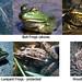 frog-species