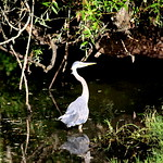 Great Blue Heron at at Tualatin Community Park 2013