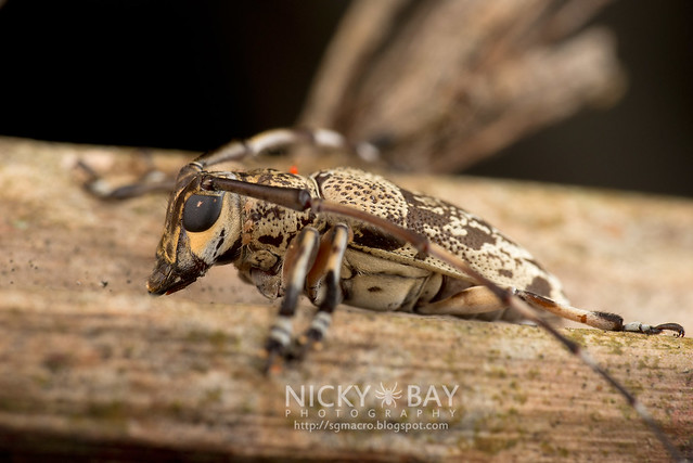 Longhorn Beetle (Cerambycidae) - DSC_1459
