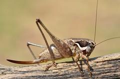 Pholidoptera femorata female