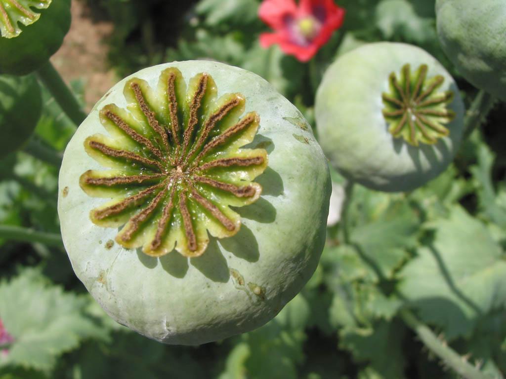 fresh opium poppy pods opium latex