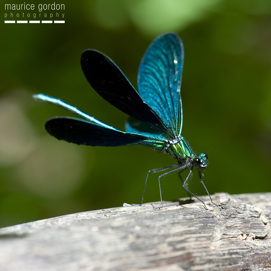 Beautiful Demoiselle ceret_DSC4285