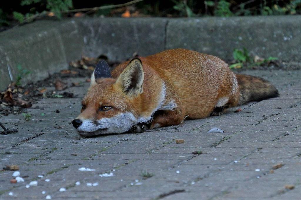 Fox sly 5.9.2013 (1)