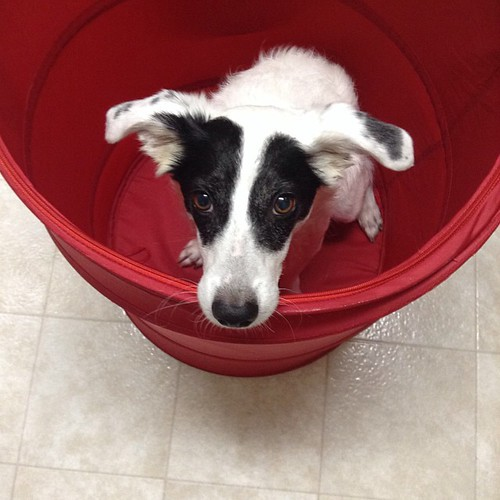 #grumblepup hiding from the storm in the laundry basket.