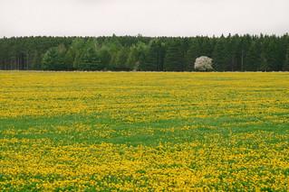 Tree beyond field of yellow