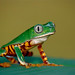 Barred Monkey Frog - Photo (c) Bernard DUPONT, some rights reserved (CC BY-NC-SA)