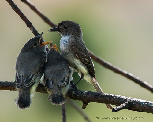 Eastern Phoebe fledglings