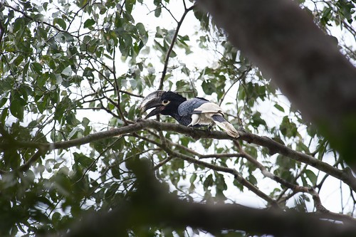 white-thighed hornbill along the Lomami
