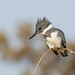 Belted Kingfisher by mallardg500