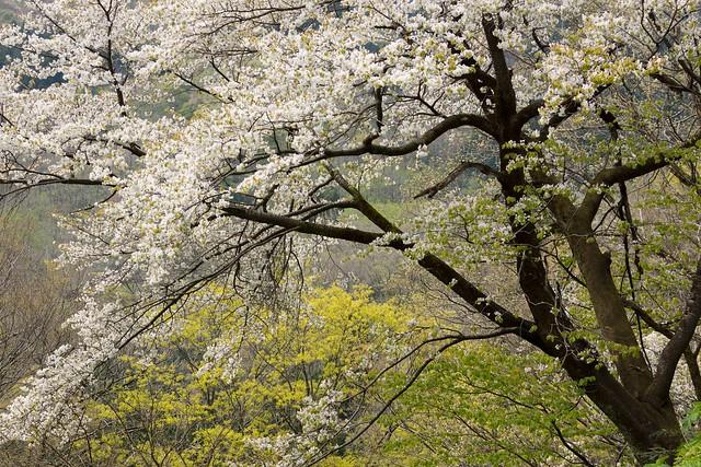 写真_追いし桜1
