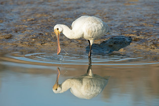 Male Juvenile Spoonbill-Platalea leucordia,In Search Of Food,Newhaven Tides, England, Uk