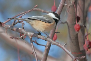 014 black capped chickadee