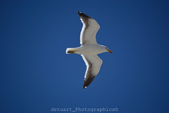 Soaring Sea Gull