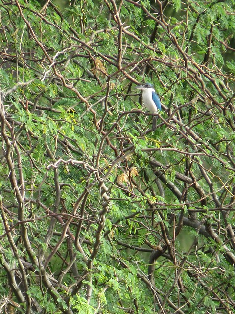 White-collared kingfisher  Nagsasa, Zambales  Photographed by Bernard Eirrol Tugade