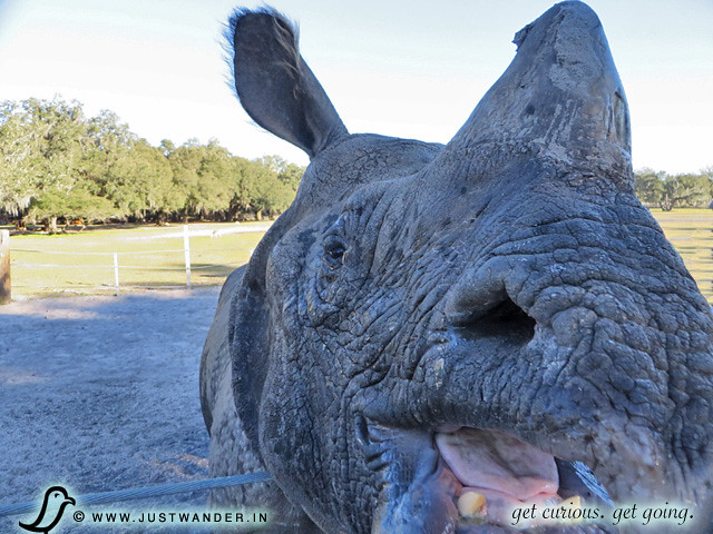 PIC: Inside the Mouth of an Indian Rhino