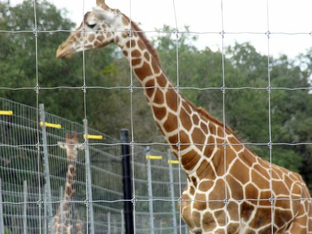 giraffes - natural bridge wildlife ranch san antonio