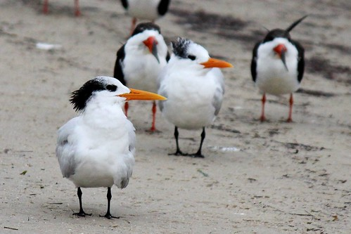 IMG_3609a_Royal_Terns_with_Black_Skimmers