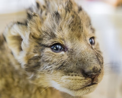 Portrait of a new born lion cub