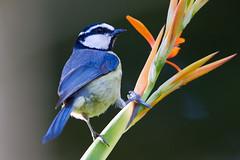 Tenerife Blue Tit 140204 Cyanistes teneriffae